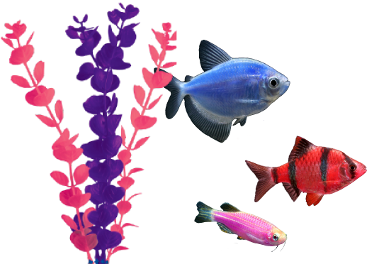 Glofish 174 The Most Colorful Pets For The Most Dazzling