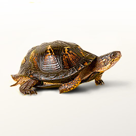 how to raise a pet turtle
