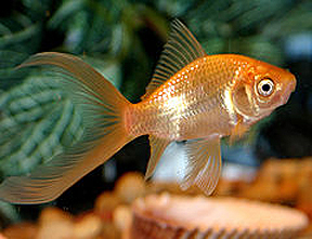 Popular types of fish for your pond tetra aquarium for Varieties of fish in the ponds