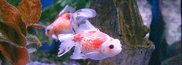 Popular types of fish for your pond tetra aquarium for Hardiest pond fish