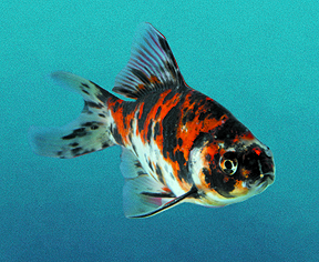 Popular types of fish for your pond tetra aquarium for Types of fish that live in ponds