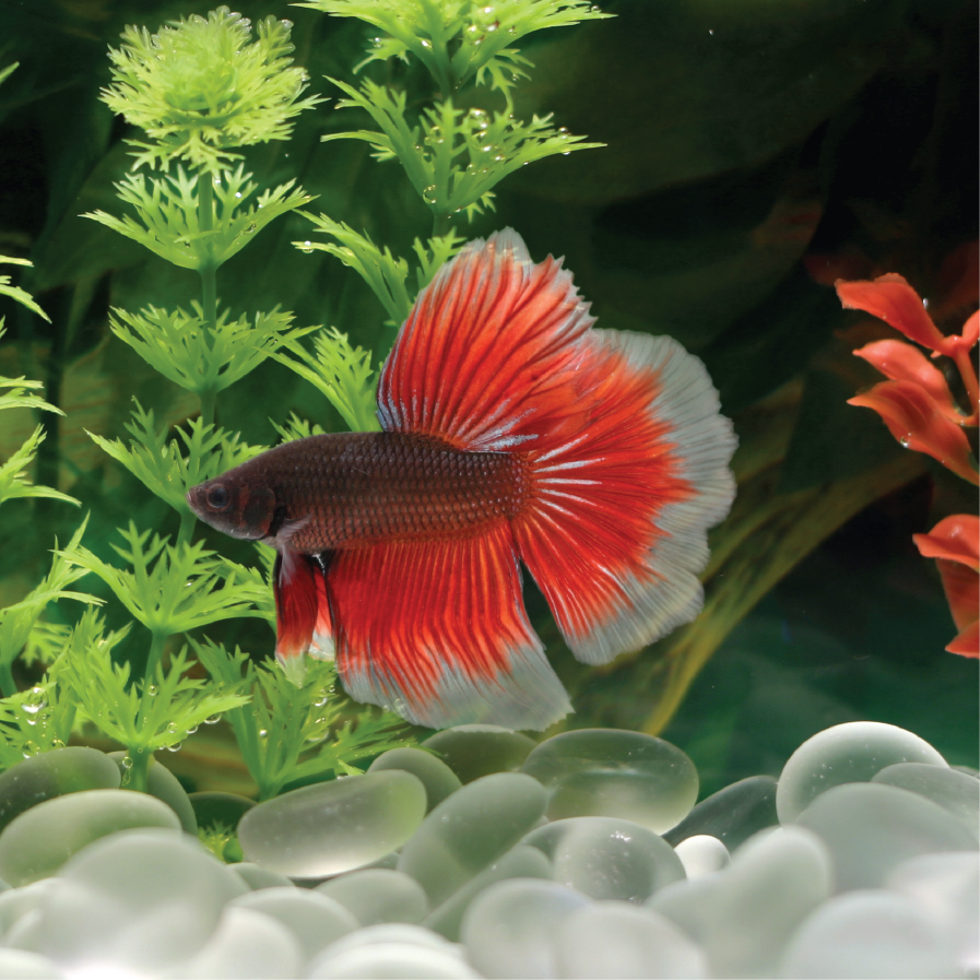 Freshwater aquarium fish list species - Betta